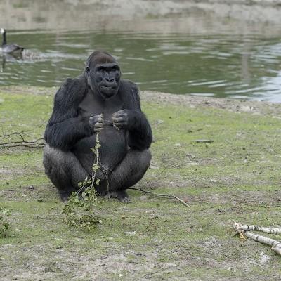 <strong></strong><br><p>Westelijke laaglandgorilla, een volwassenman; de zilverrug. In deze harem leeft de zilverrug samen met drie vrouwelijke gorilla's. Beekse bergen hoopt dat in deze groep jonge worden geboren.</p>