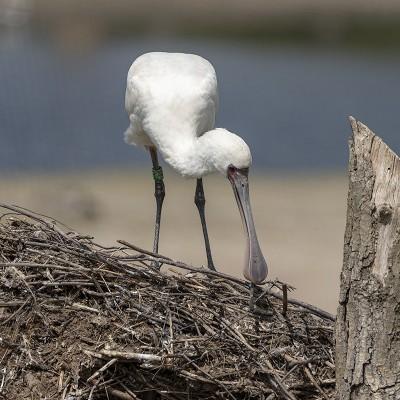 <strong></strong><br><p>Lepelaar op zijn nest</p>