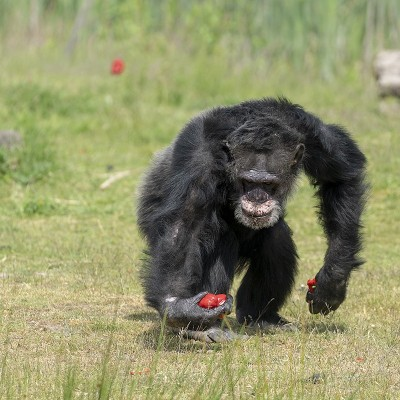 <strong></strong><br><p>Chimpansee</p>