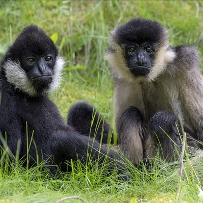 <strong></strong><br><p>Witwanggibbon</p>