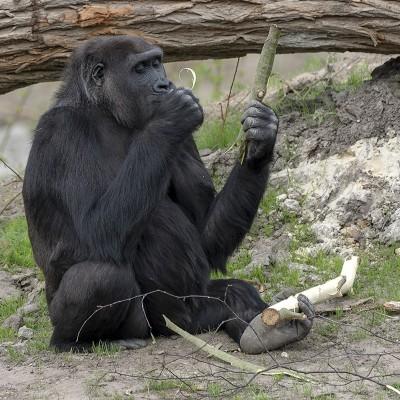 <strong></strong><br><p>Dewestelijke laaglandgorilla; een vrouwtje</p>