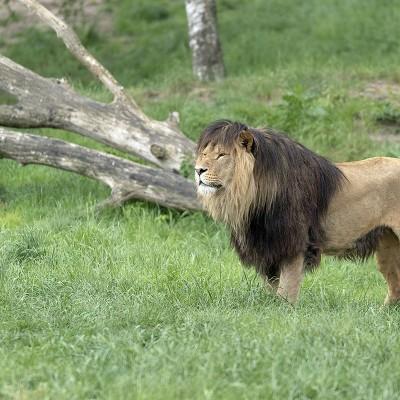 <strong></strong><br><p>In de Beekse Bergen leven twee troepen leeuwen, met een man aan het hoofd van de groep.</p>
